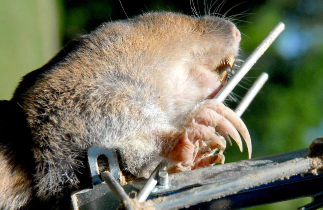 Pocket gophers are equipped massive claws and powerful front legs that are made for digging and pushing dirt. The rodents are notorious for constructing underground tunnel systems that can lead to erosion problems around homes, pastures and gardens. Courtesy/Matt Williams
