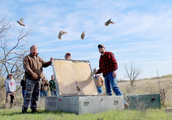 Bobwhites from West and South Texas take flight at the Quahadi Ranch in Erath County as part of a multi-year translocation study conducted by researchers with Rolling Plains Quail Research Foundation and Tarleton State University. Courtesy/Elizabeth Brogan via Matt Williams